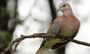 В Эстонии птицей года названа горлица