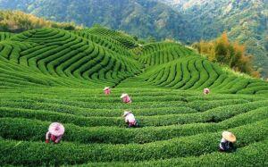 Жуки стали причиной запрета на поставки чая из Шри-Ланки в Россию