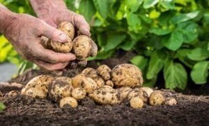 Ученые предложили употреблять картофель для похудения