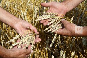Татарстан в этом году с учетом кукурузы планирует собрать 3,9 млн т зерна
