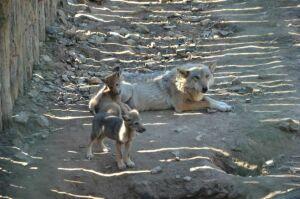 В челнинском зоопарке родились волчата