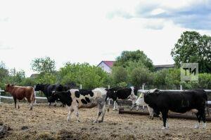 Более 1,3 тысячи коров животноводы Елабужского района перевели на летние пастбища