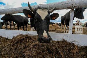 Александр Козлов: Татарстан благополучен по туберкулезу и бруцеллезу крупного рогатого скота