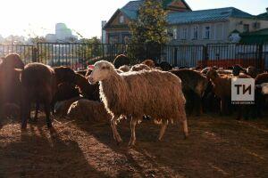 ВКазани вдни Курбан-байрама вжертву принесли более шеститысяч баранов