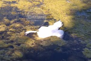 Причиной смерти жившего наозере Кабан лебедя стало отравление