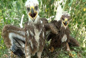 В Татарстане из-за проблем с кормом уменьшилось число солнечных орлов