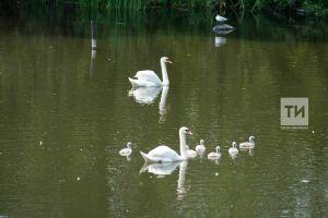 Жителей Казани просят не беспокоить лебединое семейство на Кабане