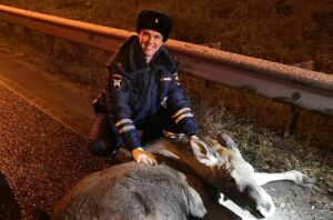 Инспекторы ГИБДД спасли лосенка, который лежал у отбойника на трассе в Казани