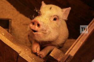 В Татарстане с начала года на 6% выросло производство свинины