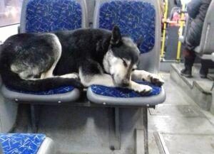 Зоозащитница просит необижать пса, который любит каждый день кататься наавтобусах