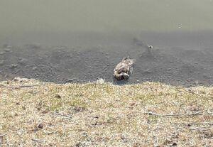 Эксперт: Утки на Булаке погибли не от птичьего гриппа