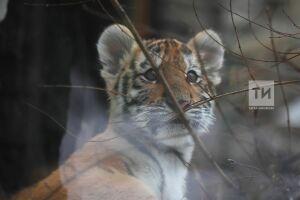 Перенесший операцию тигренок Луна постепенно восстанавливается в казанском зооботсаде
