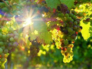 Казанских садоводов-любителей приглашают на ежегодную выставку винограда