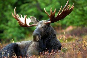 Сезон охоты на косулю и лося стартует в Татарстане