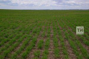 В Татарстане осенний сев проведен на 85% площадей, отведенных под озимые культуры