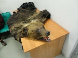 Шкуру медведя изъяли таможенники у вылетающей в Турцию жительницы РТ