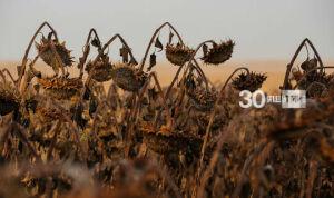 В Татарстане уборка урожая подсолнечника близится к завершению