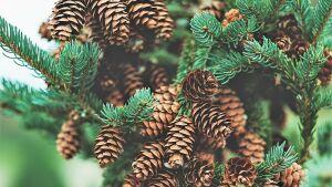 В Татарстане перевыполнили план по заготовке семян основных пород деревьев