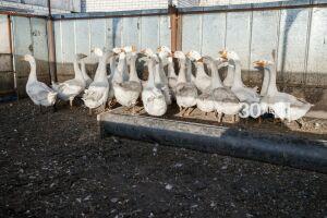 На птицефабрике в Зеленодольском районе РТ ввели карантин из-за птичьего гриппа
