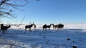 В 2021 году в леса Татарстана выпустят 50 пятнистых оленей и 30 маралов