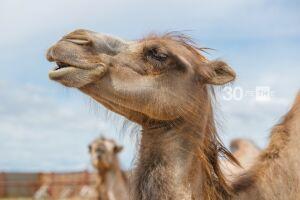 Великий Болгар приглашает туристов в зимнее «Царство верблюдов»