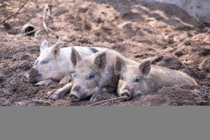В Елабуге подтвердились случаи заражения свиней африканской чумой