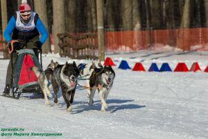 В Зеленодольске в состязании на собачьих упряжках впервые участвовали шестерки собак