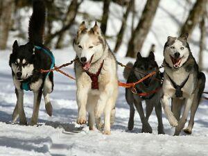 На гонку с собаками в Нижнекамск съедутся участники из шести городов России
