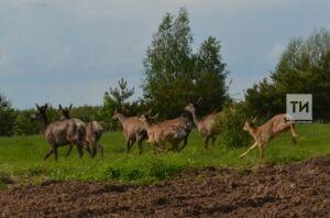 Численность косуль в Татарстане за последние десять лет выросла более чем в пять раз
