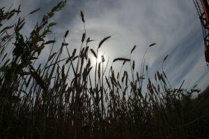 В Арском районе Татарстана начнут размножать новый сорт пшеницы с фиолетовыми зернами