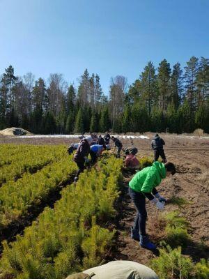 В Лубянском лесничестве по нацпроекту «Экология» посажено 35 га леса