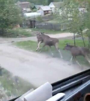 На видео сняли, как в Зеленодольском районе вдоль ж/д путей бегут лоси