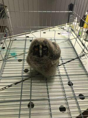 В Азнакаеве спасли выпавшего из гнезда совенка