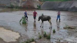 В Бугульме егеря спасли упавшую в канал лосиху