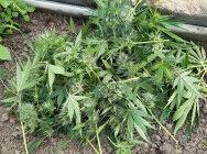 Задержан казанец, который в саду в теплице выращивал марихуану