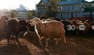 Ветслужба Алькеевского района проводит проверку жертвенных овец к Курбан-байраму