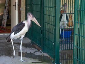 В зоопарк Казани поселили пару африканских марабу