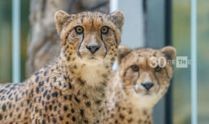 Казанцы дали символичные имена четырем котятам гепарда