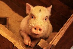 На отдельных территориях Татарстана ввели карантин из-за АЧС у диких свиней
