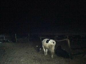 Охранник фермы в Татарстане получил ожоги, спасая из пожара коров