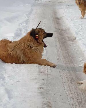 Под Казанью спасли пса, который неделю ходил со стрелой в голове