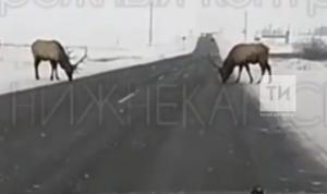 За прошлый год на дорогах Татарстана погибли более 140 диких животных