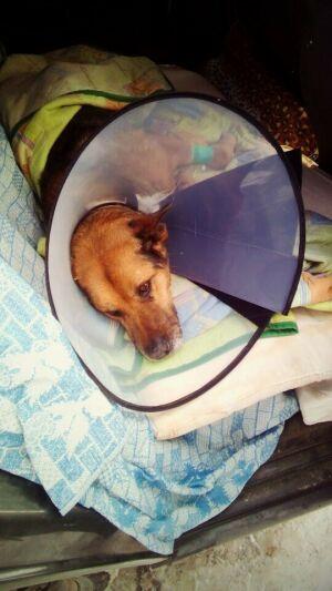 Собаке, которую переехал трамвай в Челнах, сделали сложную операцию в Казани
