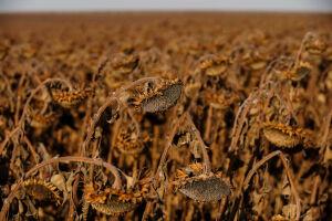 Засушливое лето: удастся ли сохранить урожай?