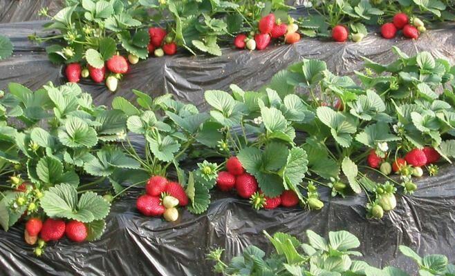Самым загрязненным пестицидами продуктом признана клубника