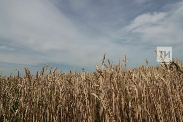 В Татарстане обмолочено 35 процентов посевных площадей