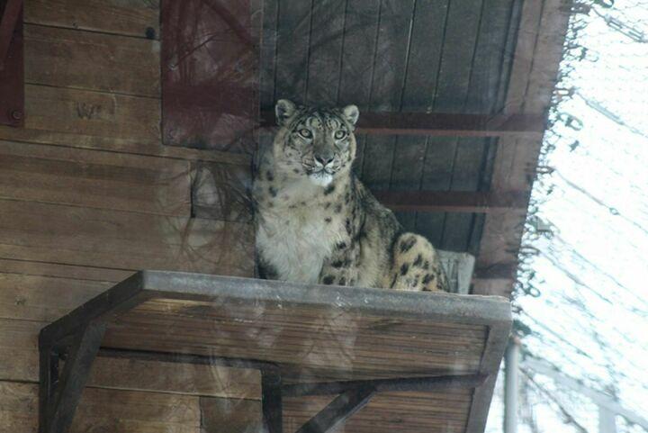 Генетики КФУ и Казанский зоопарк создадут персональное лекарство для снежного барса