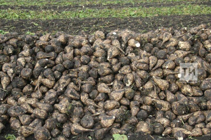 Марат Зяббаров отметил существенный рост урожайности свеклы по сравнению с 2018 годом