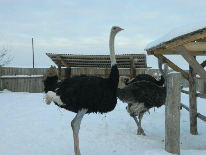 В новую часть зооботсада Казани переселили пару страусов