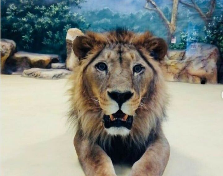 В зоопарк «Река Замбези» переехали лев Инсар и львицы Киара и Люся